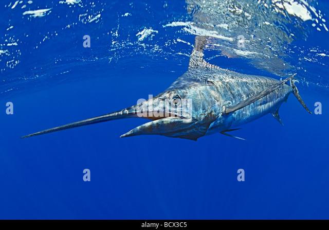 Blauer Marlin, Makaira Nigricans Kona Küste Big Island Pacific Ocean Hawaii USA Stockbild