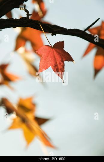 Ahornblätter auf Ast Stockbild