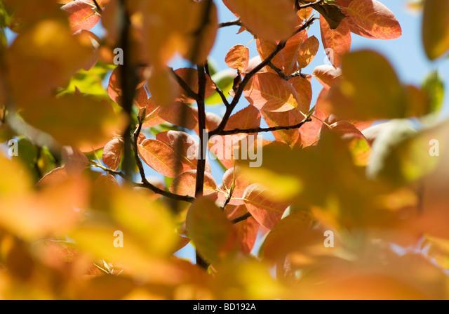 Herbstlaub der Apfelbaum, Nahaufnahme Stockbild