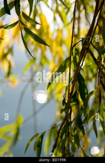 Weidenruten, close-up Stockbild