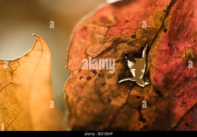 Getrockneten Blättern mit Loch, extreme Nahaufnahme Stockbild