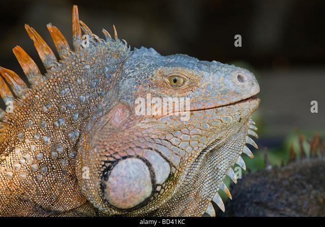 Gemeinsamen Leguan (Iguana Iguana), auch genannt einen grünen Leguan, Insel Roatan, Honduras Stockbild