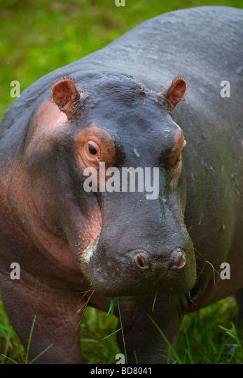 Nilpferd Hippopotamus Amphibius Krüger NP in Südafrika Stockbild