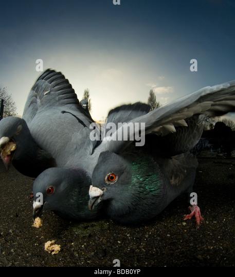 Tauben Longieren für Lebensmittel, London Stockbild