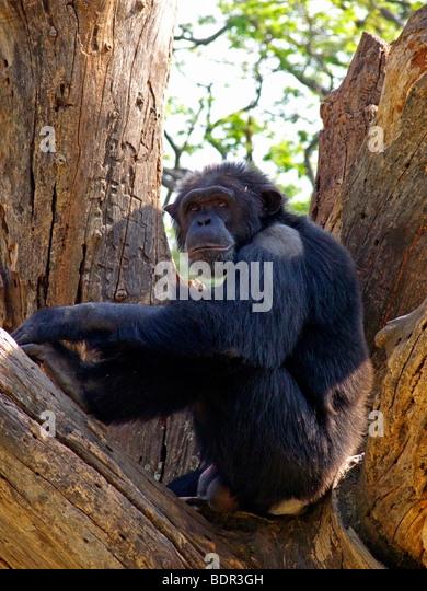 Schimpanse, Ape. Stockbild