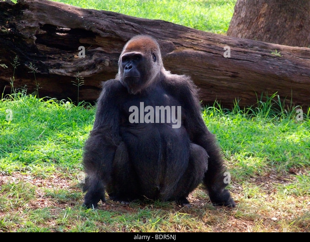 Gorilla, Ape Stockbild