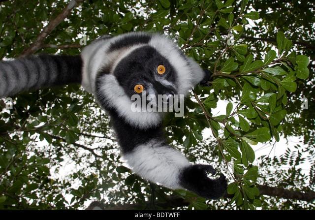 Kragenlemur, Vari Varecia Variegata, Madagaskar, Afrika, Lemur, Madagaskar, Afrika Stockbild