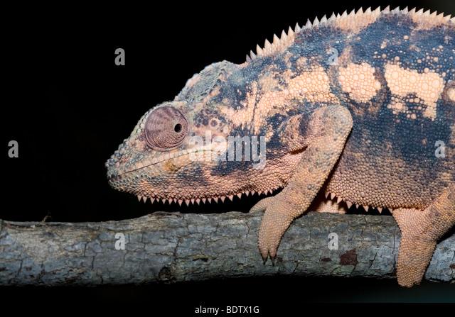 Pantherchamaeleon, Weibchen, Weiblich, Weiblich, Furcifer Pardalis, Pantherchamäleon, Madagaskar, Afrika, Madagaskar, Stockbild
