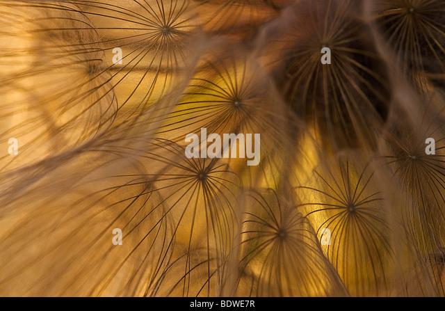 Makro-Bild der Schwarzwurzeln Samen, Kalifornien, USA. Stockbild