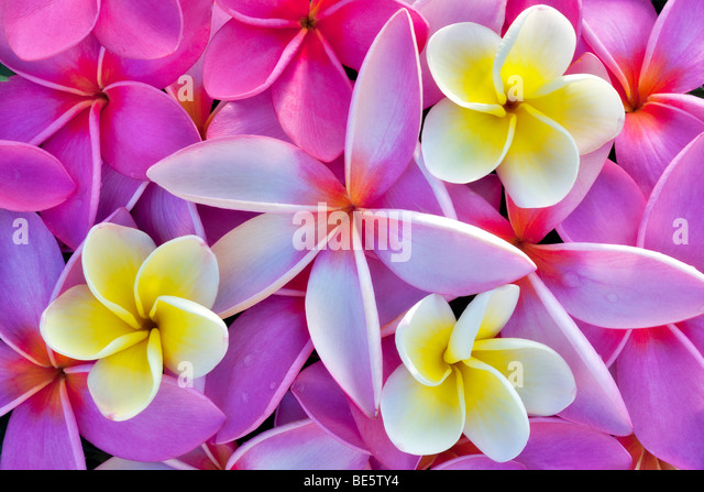 Rote und gelbe Plumeria oder Frangipani. Kauai, Hawaii. Stockbild