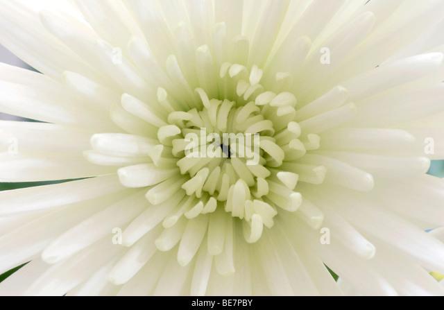 Weiße Chrysantheme Blume Nahaufnahme Stockbild