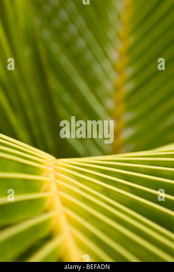 Close-up Muster der Palme Blätter in Guanacaste, Costa Rica. Stockbild