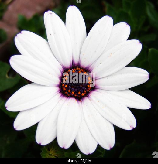 White daisy Stockbild