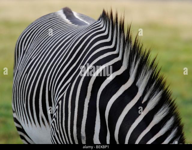 Das Fell eines Zebras mit einer gestreiften Mähne. Stockbild