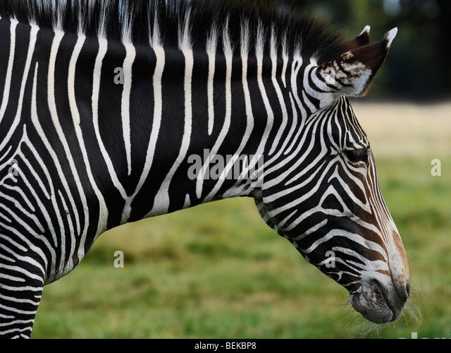 Das Gesicht eines Zebras. Stockbild