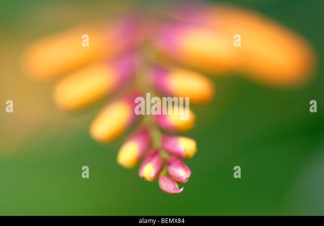 Montbretia (Crocosmia Masoniorum) Blütenknospen hautnah Stockbild