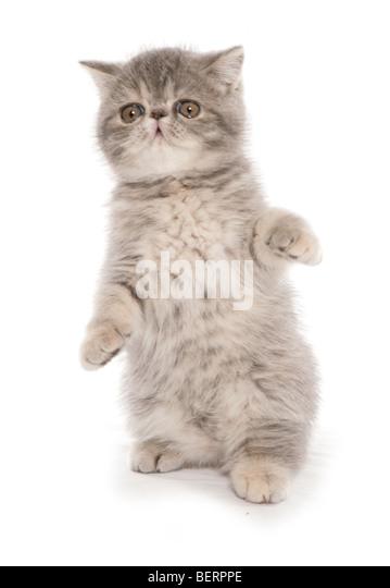 exotisch Kurzhaar Kätzchen spielen Studioportrait Stockbild