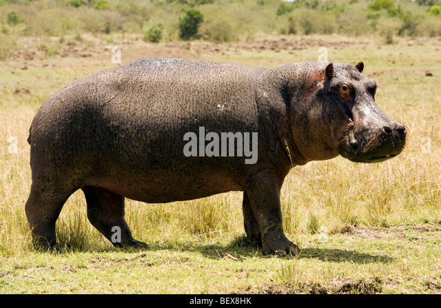 Nilpferd - Masai Mara National Reserve, Kenia Stockbild