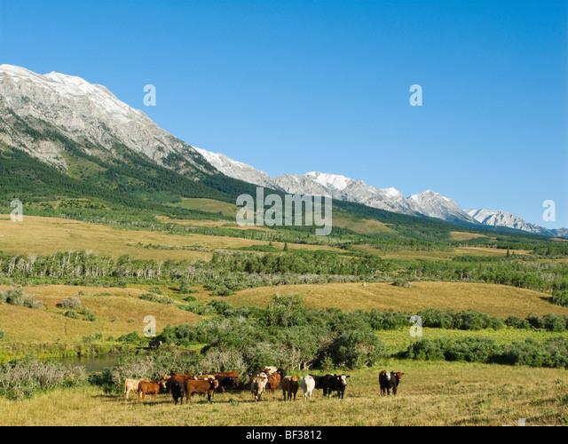 Tiere - Gemischte Rassen von Rindfleisch Ochsen auf native Weideland in den kanadischen Rockies / Alberta, Kanada. Stockbild