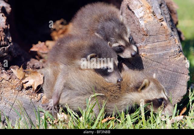 Waschbär (Procyon Lotor). Weibchen mit zwei Jugendliche in einem hohlen Baum. Stockbild