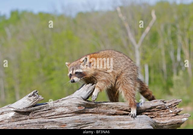 Waschbär (Procyon Lotor) zu Fuß auf einem Baumstamm. Stockbild