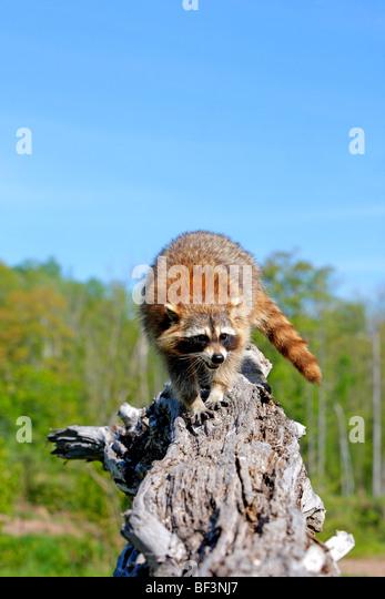 Waschbär (Procyon Lotor) stehend auf einem Baumstumpf. Stockbild