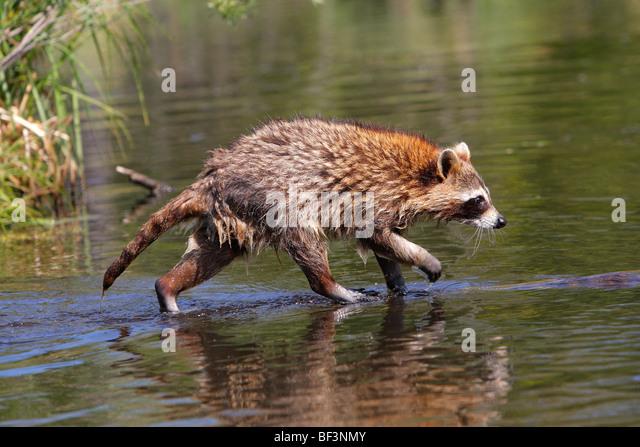 Waschbär (Procyon Lotor) zu Fuß entlang einer treibenden Log. Stockbild
