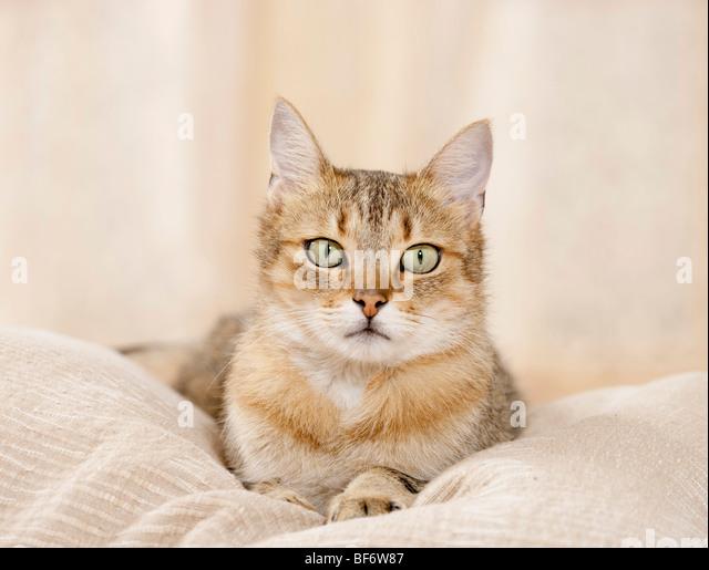 Hauskatze - liegend auf Kissen Stockbild
