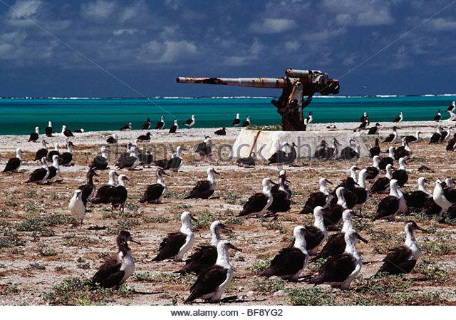 Laysan Albatrosse und WWII Reliquien, Phoebastria Immutabilis, Midway-Inseln, Hawaii Leeward-Inseln Stockbild
