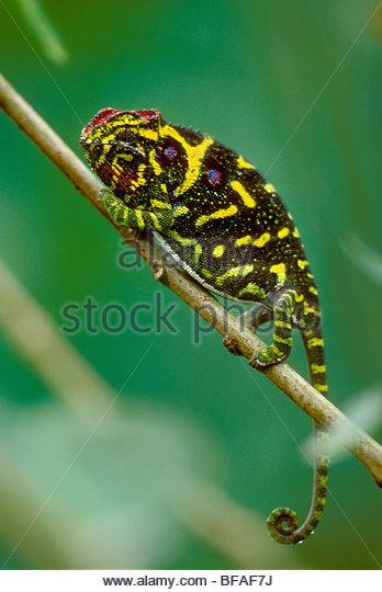 Geringerem Chamäleon Furcifer minor, Südwest-Madagaskar Stockbild