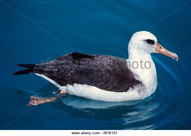 Laysan Albatros juvenile schwimmen, Phoebastria Immutabilis, Hawaiian Inseln über dem Winde Stockbild