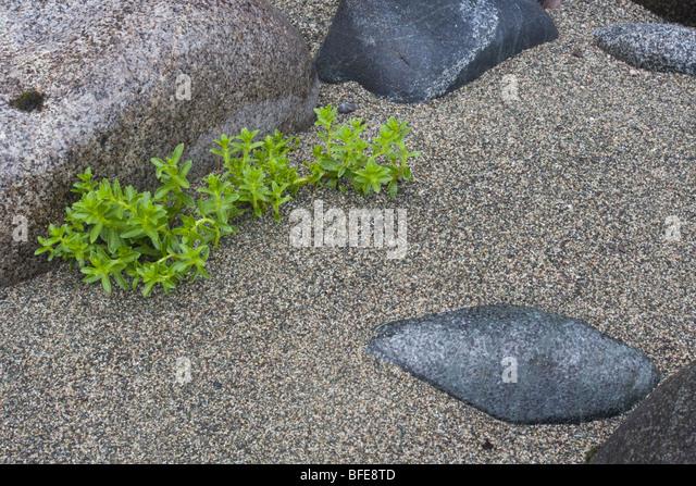 Eine Nahaufnahme von Pflanzen, die am Strand entlang der West Coast Trail auf Vancouver Island, British Columbia, Stockbild