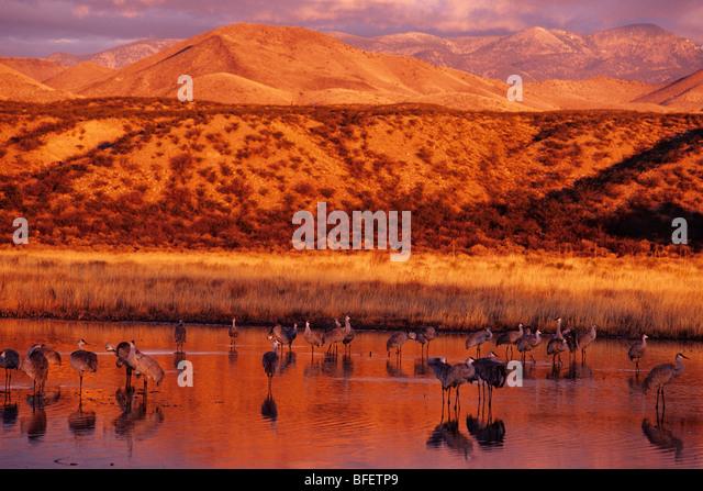 Kraniche (Grus Canadensis) in der Morgendämmerung, Bosque del Apache National Wildlife Refuge, New Mexico, Stockbild