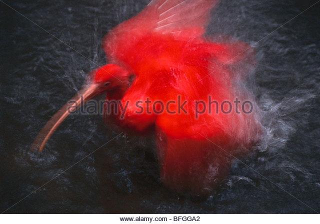 Scarlet Ibis Baden, Eudocimus Ruber, heimisch in Südamerika Stockbild