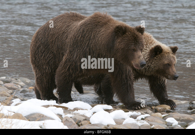 Grizzly Bear und 2. Jahr Cub (Ursus Arctos) auf Fishing Branch River, Ni'iinlii Njik Ecological Reserve, Yukon Stockbild