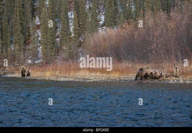 Grizzly Bär (Ursus Arctos) Sau und 1. Jahr jungen Zweig Fluss angeln. Ni'iinlii Njik Naturreservat Yukon Stockbild
