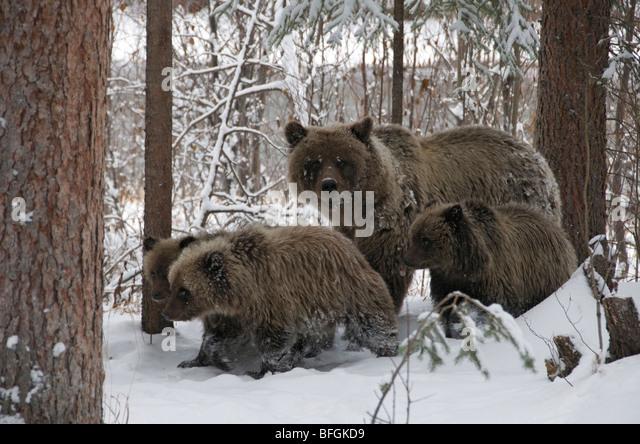 Grizzly Bär (Ursus Arctos) Sau und 1. Jahr Jungtiere ein Spaziergang durch den verschneiten Wald. Fishing Branch Stockbild