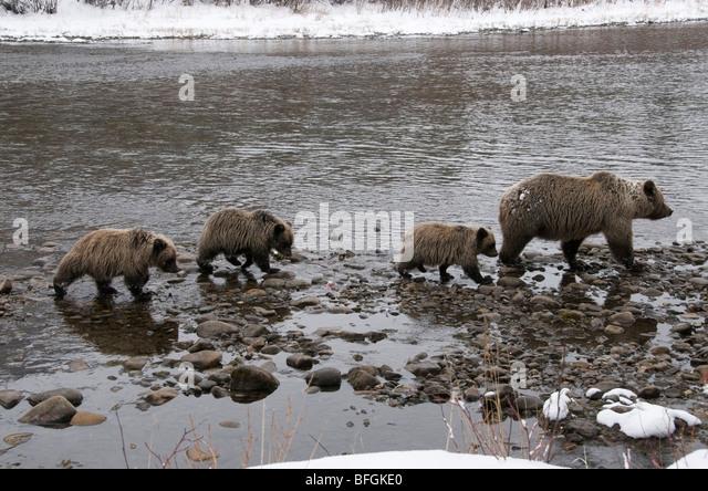 Grizzly Bär (Ursus Arctos) Sau und 1. Jahr Jungtiere. Fishing Branch River Ni'iinlii Njik Naturreservat Stockbild