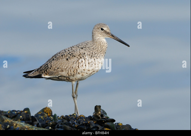 Willett (Tringa Semipalmata) auf felsigen Küste am Playa Del Ray, Kalifornien, USA Stockbild
