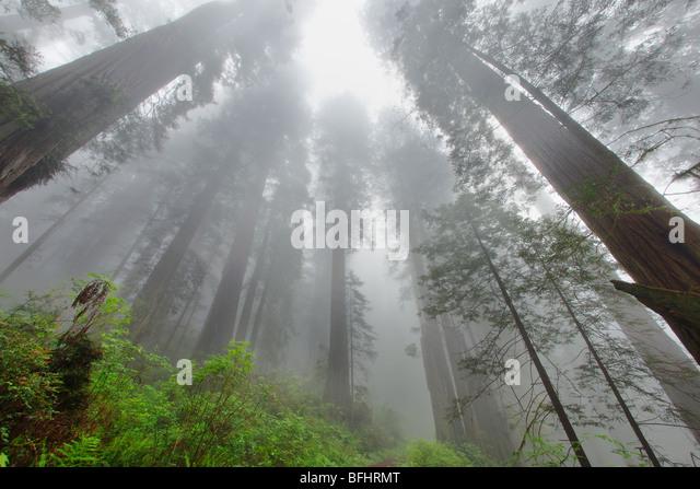 Blick himmelwärts gegenüber den hoch aufragenden Redwood Bäumen entlang Verdammnis Creek Trail im Stockbild