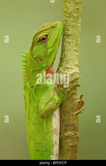 Eine kleine Iguana thront auf einem Ast im Amazonasgebiet Ecuadors. Stockbild
