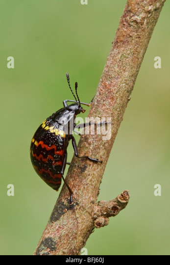 Ein bunte Käfer thront auf einem Ast im Amazonasgebiet Ecuadors. Stockbild
