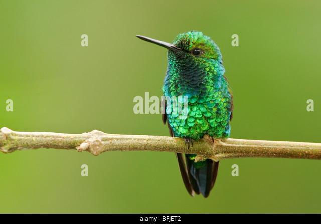 Ein Western-Smaragd-Kolibri (Chlorostilbon Melanorhyncus) thront auf einem Ast in Tandayapa Tal von Ecuador. Stockbild