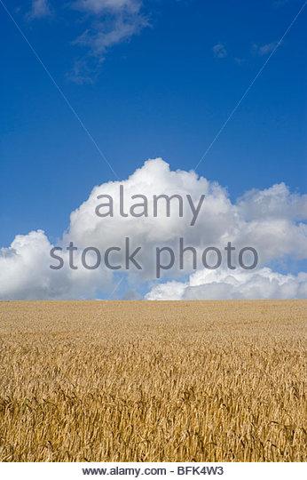 Wolken am blauen Himmel über sonnige Gerstenfeld Stockbild