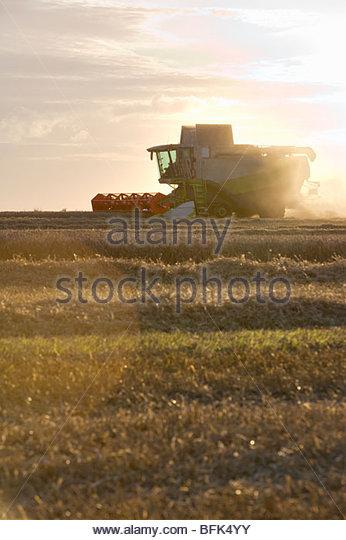 Kombinieren Sie beim Ernten von Weizen auf sonnigen ländlichen Gebiet Stockbild