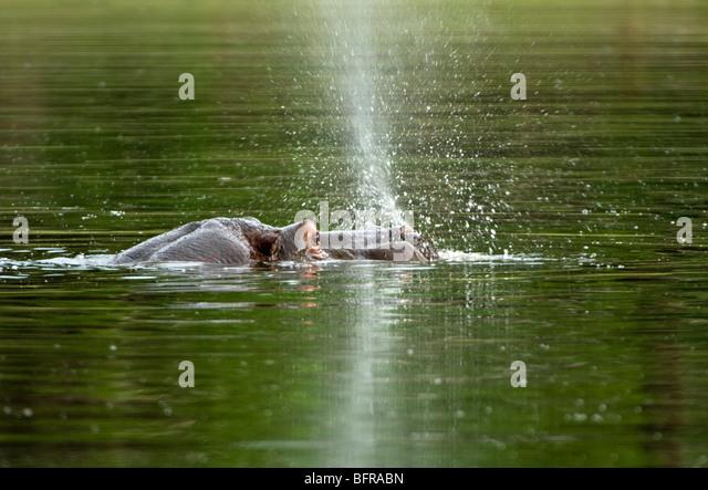 Flusspferd (Hippopotamus Amphibius) schwimmen Stockbild