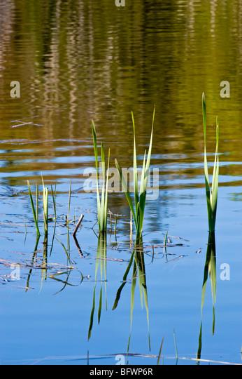Fichte-Reflexionen in Beaverpond Wasser mit aufstrebenden Rohrkolben, Greater Sudbury, Ontario, Kanada Stockbild