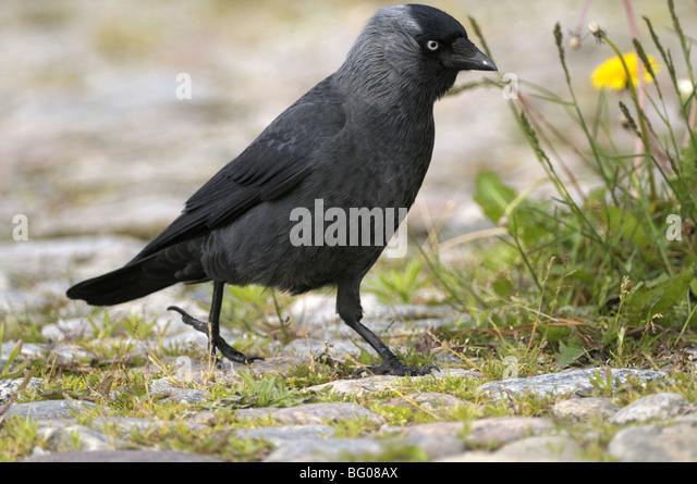 Dohle (Corvus Monedula) zu Fuß auf Kopfsteinpflaster. Stockbild