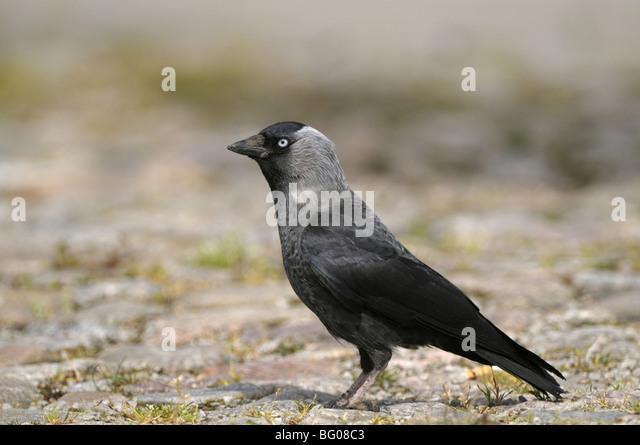 Dohle (Corvus Monedula) stehend auf Kopfsteinpflaster. Stockbild