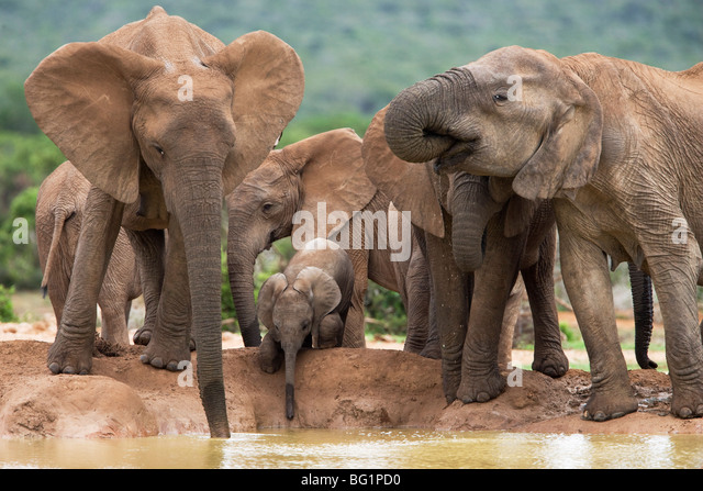 Elefantenherde Zucht (Loxodonta Africana), Addo Elephant National Park, Eastern Cape, Südafrika, Afrika Stockbild